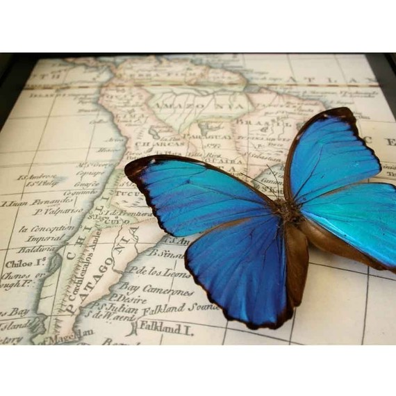 Blue Morpho with South American Map
